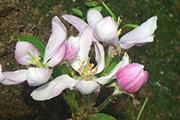 Первое цветение фруктовых деревьев, июнь 2015 г.