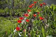Перед главным входом в Никольский храм расцвели тюльпаны.
