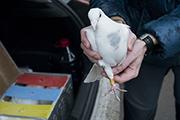 Привезли голубей.
